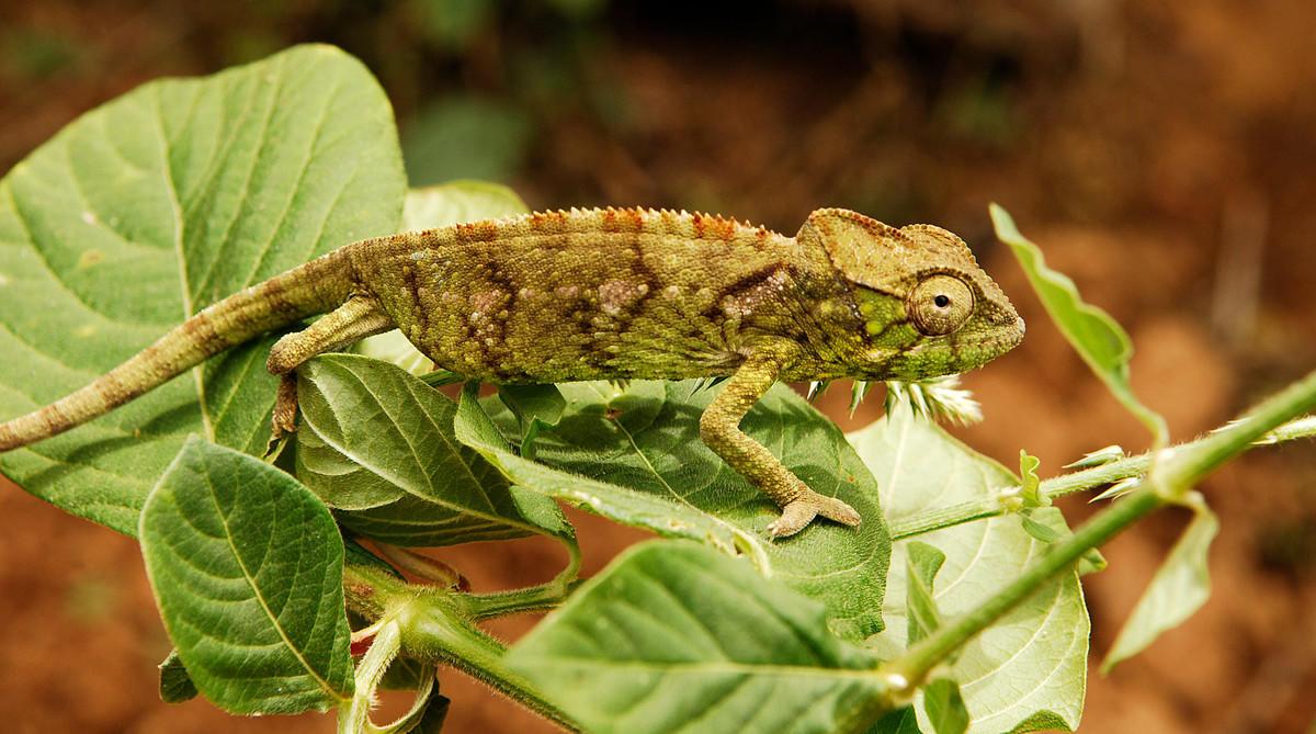 438p1lnp89 julie larsen maher 2970 juvenile panther chameleon mdg 09 21 05 hr